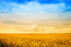 Farm field of golden rape flowers. Agriculture - farm field of golden rape flowers Stock Photos