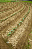 Farm field with growing winter melon plants Stock Photography