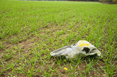Farm field landcsape with crop and horse cranium. Time concept royalty free stock images