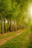 Farm Field Path Leads into Distance Along Tree Row Sunlight Stock Image