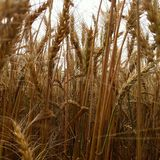 The farm field. With planted wheat royalty free stock photo