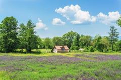 Farm field with Purple flowers Royalty Free Stock Photo