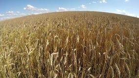 Farm field with ripe wheat in wind. Timelapse 4K stock video footage