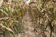 In Between Farm Field Rows of Corn. A little path is formed in between row of corn in a farm field. Ever watch the movie Field of Dreams Royalty Free Stock Photos