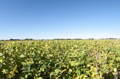 Farm field of soybeans Royalty Free Stock Images