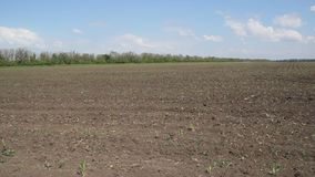 On the field rises corn. Farm field in the spring. On the field rises corn stock footage
