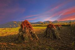 Farm field sunset Royalty Free Stock Image