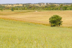 Farm field with  wheal plantation and trees in Vale Seco, Santia. Go do Cacem, Alentejo, Portugal Stock Photos