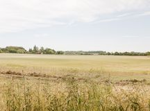 A farm field of wheat grass crop outside growing with blue and c Royalty Free Stock Image