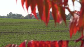 Farm field with winter crops and autumn color leaves. Focus change. 4K. Farm field with winter crops and movement of autumn color leaves. Focus change shot. 4K stock footage