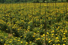 The farm field of yellow marigold flowers with supporting sticks. The rows of beautiful marigold flowers in the garden. This is an flowers agricultural field stock photography