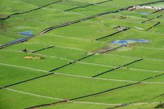Farm fields with cows top view in the Terceira island in Azores Stock Photography