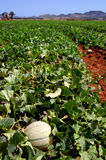 Farm fields, melons plantation Royalty Free Stock Image
