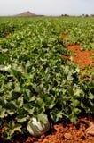 Farm fields, melons plantation Royalty Free Stock Photo