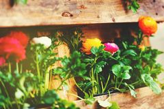 Colorful buttercups Royalty Free Stock Images