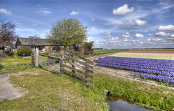 Farm in the Flower fields in Holland Royalty Free Stock Photo