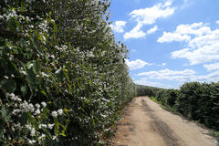 Farm flowered coffee plantation in Brazil stock images
