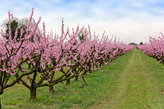 Farm with flowered trees. Spring in the countryside, orchards of peach with pink flowers Royalty Free Stock Photo