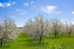 Farm with flowering trees. Spring in the countryside - flowering trees in orchard - blooming farmland royalty free stock photos