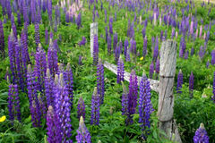 Farm Flowers. Purple lupins flowering around a farmer's fence royalty free stock image