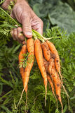 Farm fresh Carrots Stock Image