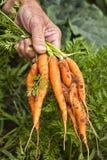 Farm fresh Carrots Stock Image