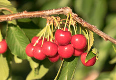 Farm Fresh Cherries Sweet Fruit Vine Cherry Tree Farm Agriculture Stock Photography