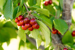 Farm Fresh Cherries Sweet Fruit Vine Cherry Tree Farm Agriculture Stock Photos