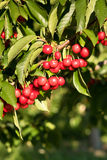 Farm Fresh Cherries Sweet Fruit Vine Cherry Tree Farm Agriculture Royalty Free Stock Photography