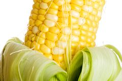 Farm fresh corn on the cob Stock Photography