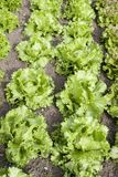 Farm Fresh Head Lettuce Stock Images