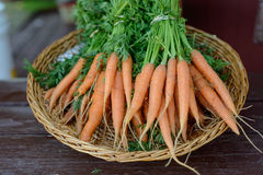 Farm Fresh and organic carrots freshly pulled out of the ground Stock Image