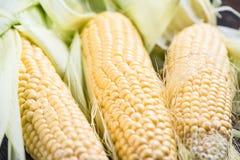 Farm fresh organic corn cob Royalty Free Stock Photo