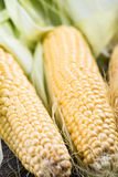 Farm fresh organic corn cob Royalty Free Stock Photo