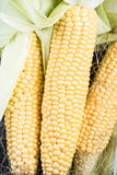 Farm fresh organic corn cob Stock Photography