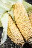 Farm fresh organic corn cob Royalty Free Stock Images