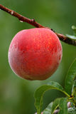 Farm Fresh Peach Royalty Free Stock Photos