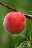 Farm Fresh Peach. Peach growing on tree ripe ready to be picked Royalty Free Stock Photos