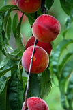Farm Fresh Peaches. Peaches growing on tree, ripe ready to be picked Stock Images
