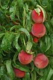 Farm Fresh Peaches ripe on tree. Peaches growing on tree, ripe ready to be picked Stock Photo