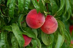 Farm Fresh Peaches on tree. Peaches growing on tree, ripe ready to be picked Stock Photo