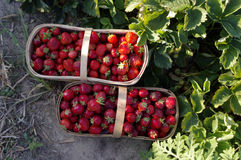 Farm Fresh Picked Strawberries Stock Photography