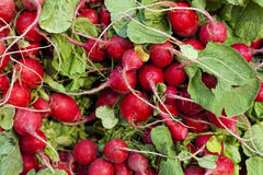 Farm Fresh Radish. And green leaves Stock Image