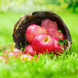 Farm fresh red apples in a wicker basket Royalty Free Stock Photo