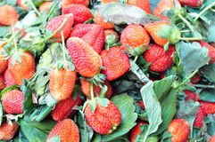 Farm fresh strawberry Royalty Free Stock Photos