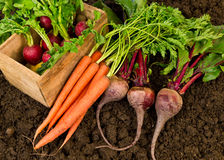 Farm Fresh Vegetables. Healthy freshly harvested organic vegetables, radish, carrots, beets, laying on garden soil Stock Image