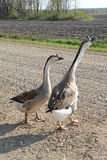 Farm Geese Stock Photo