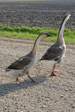 Farm Geese 2. A gander walking ahead of a goose Royalty Free Stock Image