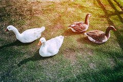 Farm geese at green field Stock Photography