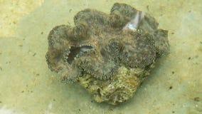 Farm giant clams,tridacna. stock footage